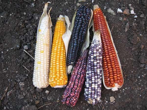 maiz-criollo