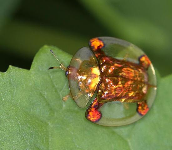 escarabajo1