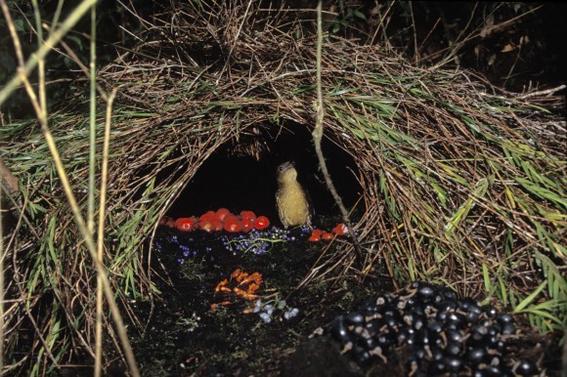 huettengaertner-huetten-gaertner-brown-bowerbird-crestless-bowerbird-gardener-bowerbird-plain-bowerbird-vogelkop-bowerbird-vogelkop-gardener-bowerbird-vogelkop-gardener-bowerbird