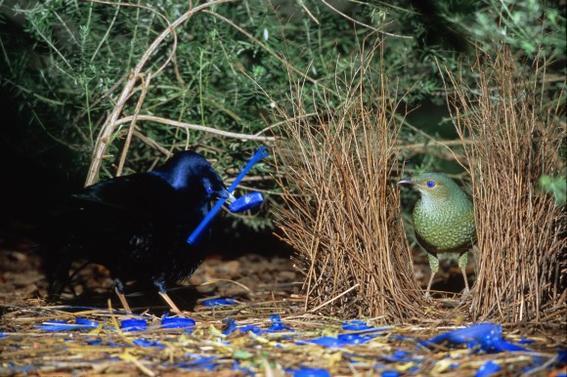 seidenlaubenvogel-ptilonorhynchus-violaceus-satin-bowerbird