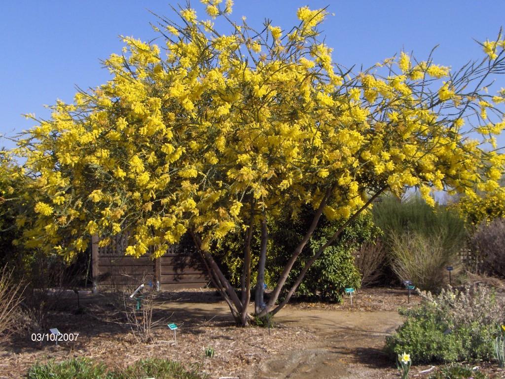 Acacia-pravissima