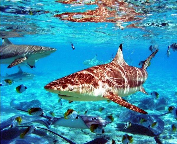 bora bora tiburones