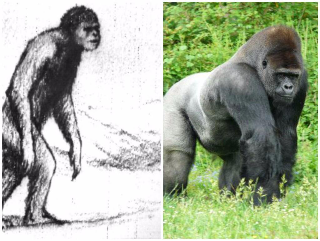 gorila leyenda