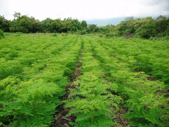 moringa-cultivo