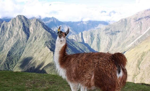 Camino Inca Llama