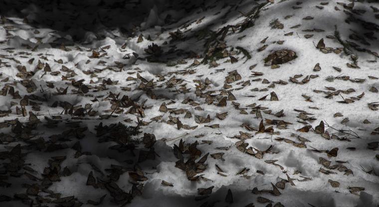 mariposas muertas