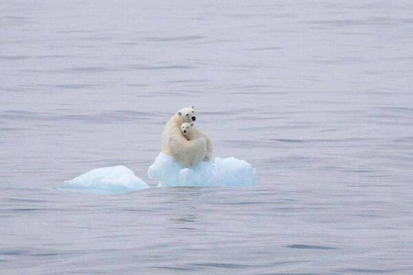 osa-polar-y-osezno-casi-sin-hielo