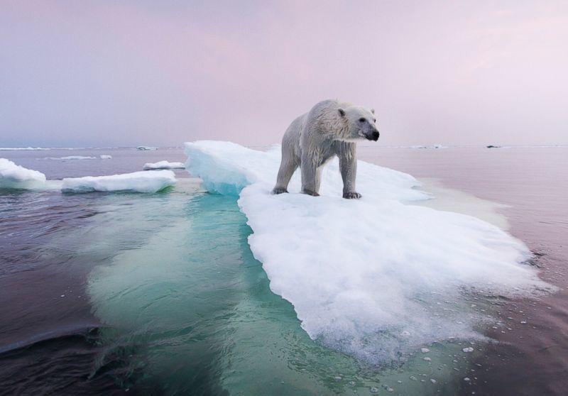 Calentamiento global no existe oso polarCalentamiento global no existe oso polar