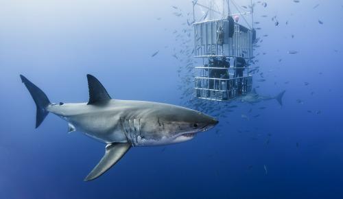 Tiburón en Isla de Guadalupe | playas en el norte de mexico
