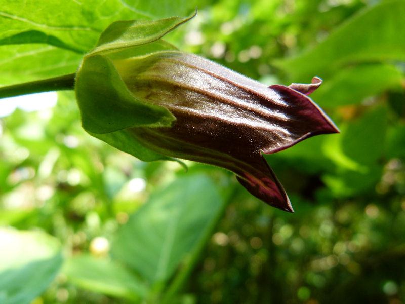 Jardín Alnwick belladona