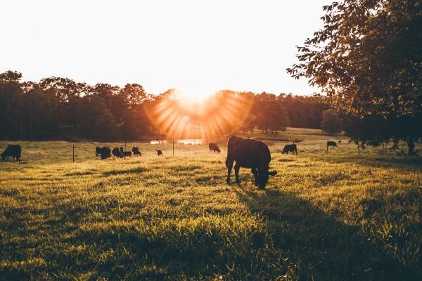 musica a traves de imagenes vaca