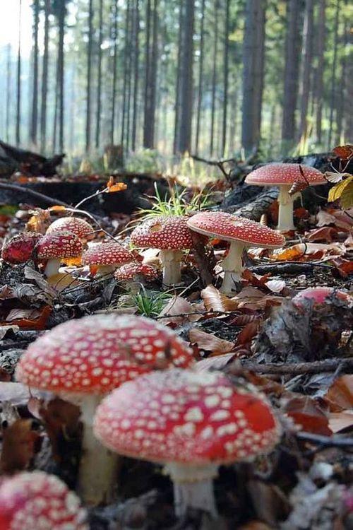 hongos magicos
