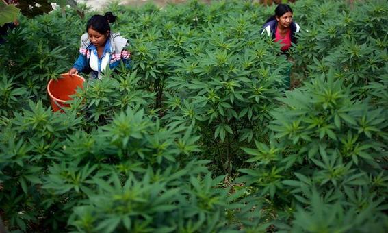 Resultado de imagen para sembradio de marihuana méxico