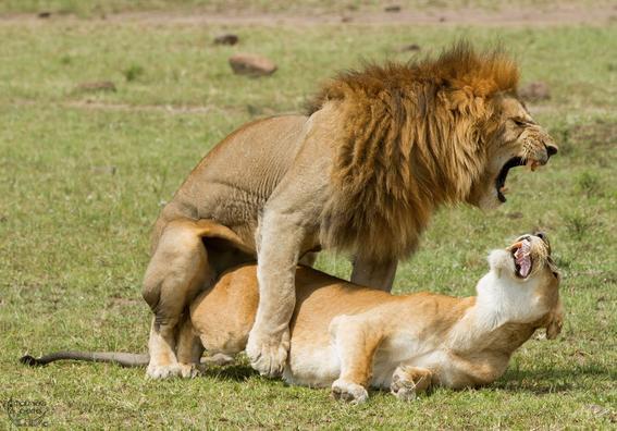 leones sexo