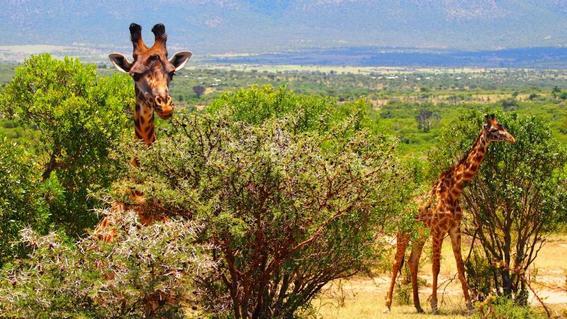 extincion de las jirafas