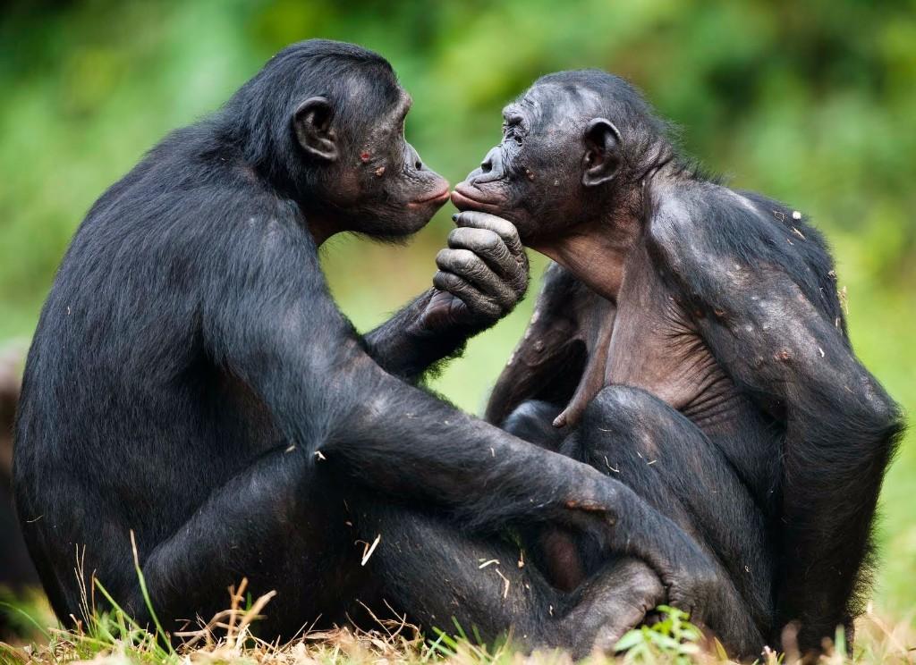 bonobo sexo