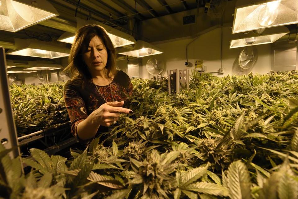 marihuana legal colorado