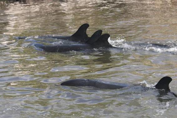orcas negras muertas