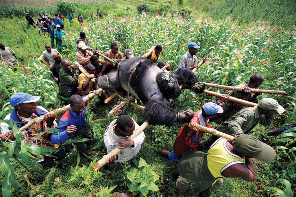 mejores fotografias de la historia gorila