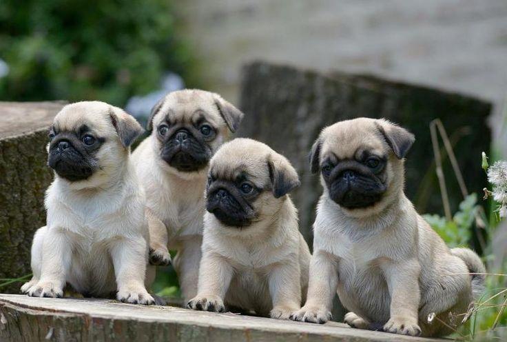 pugs bebes