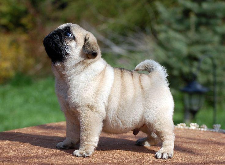 pugs perros
