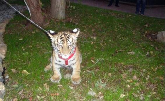 tigre abandonado en sonora