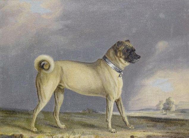 Pugs Genetical Modifications Bernard Chalon-w636-h600