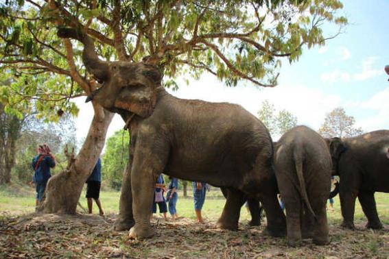 Elefantes tailandia   arbol