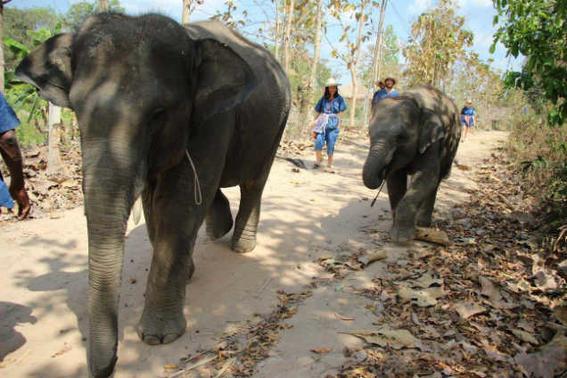 Elefantes tailandia   caminando