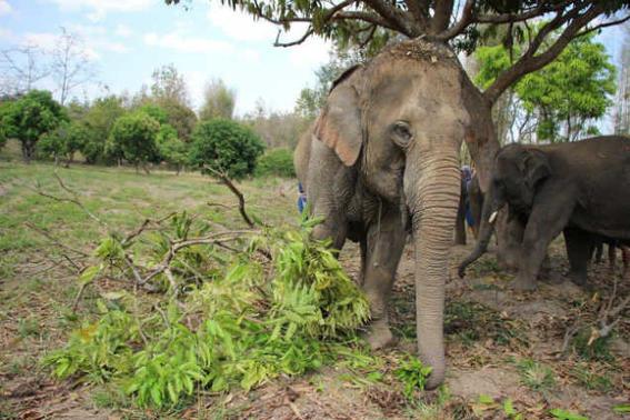 Elefantes tailandia   frante
