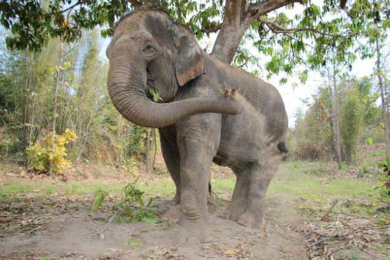Elefantes tailandia   trompa