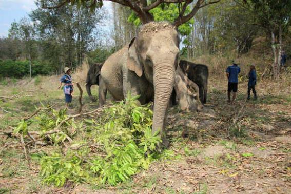 Elefantes tailandia   verde