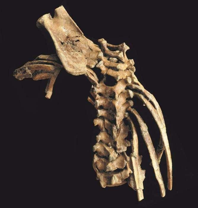 origen de la columna vertebral