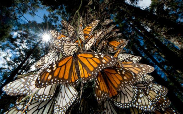 mariposa monarca-w636-h600