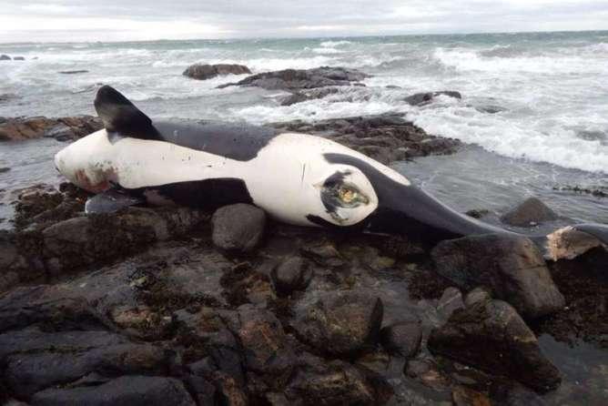 encuentran cadaver de orca