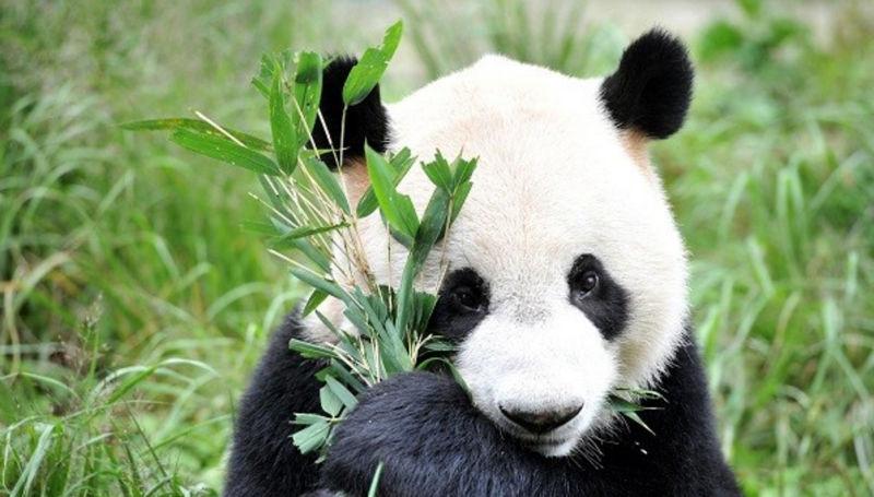 ¿Por qué si todos amamos a los pandas se siguen