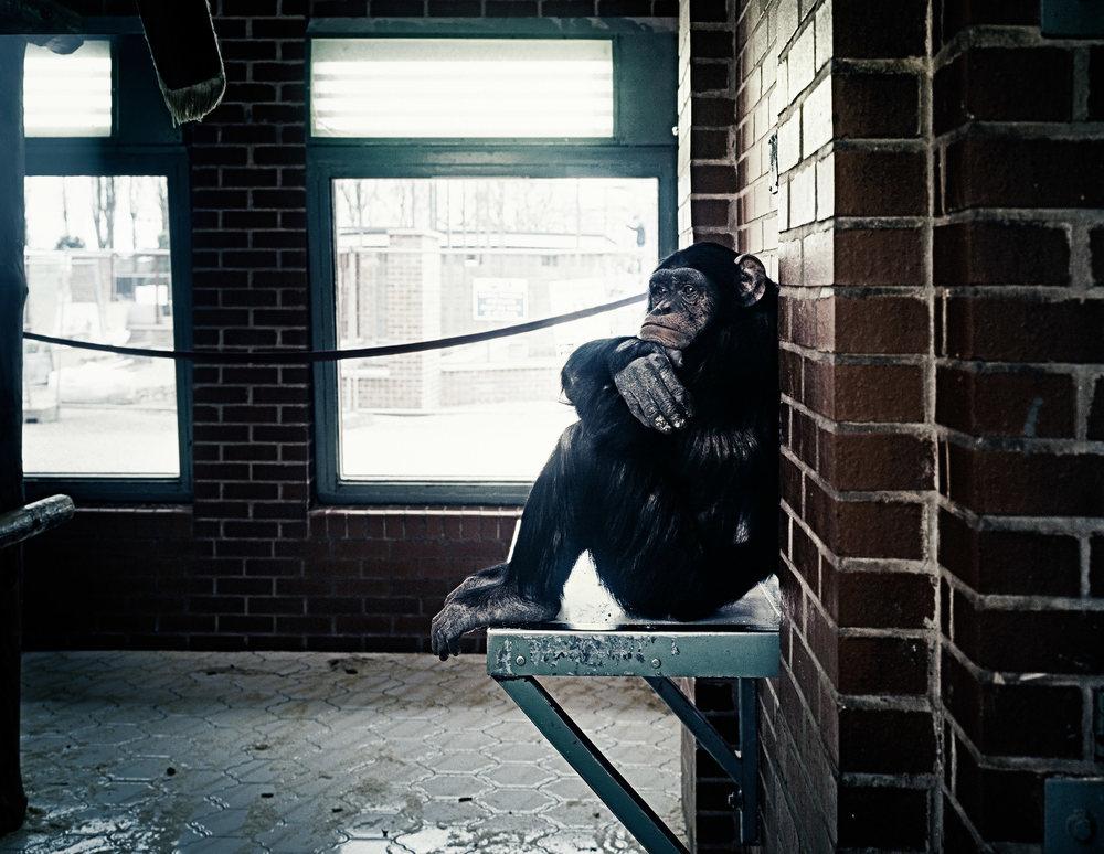 sufrimiento de animales en zoologicos chimpance