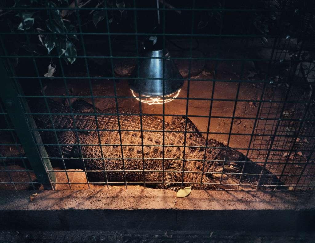 sufrimiento de animales en zoologicos cocodrilo
