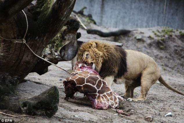 sufrimiento de animales en zoologicos depredador