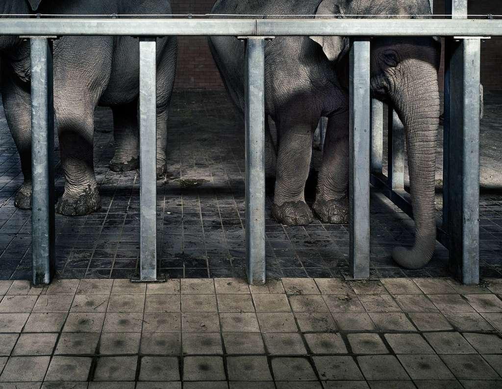 sufrimiento de animales en zoologicos elefante