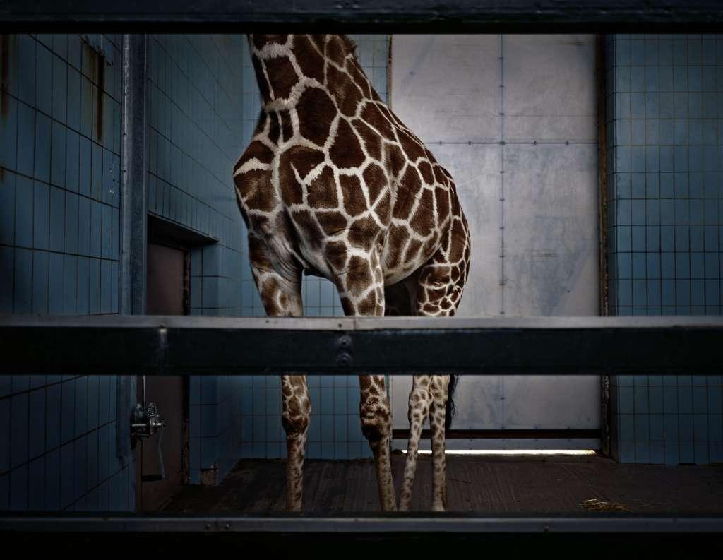 sufrimiento de animales en zoologicos jifafa