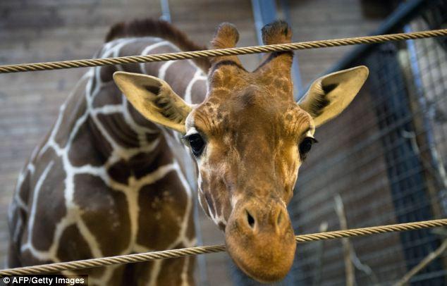 sufrimiento de animales en zoologicos jirafa