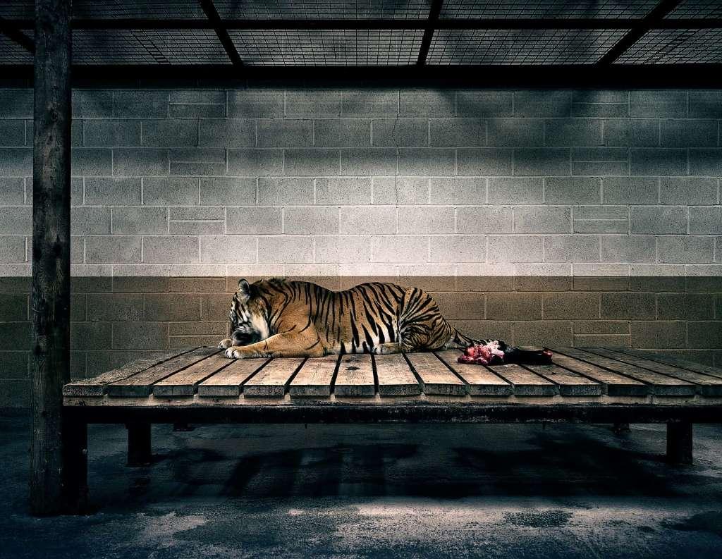 sufrimiento de animales en zoologicos tigre