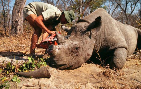 en diez anos no quedaran cuernos de rinoceronte 1
