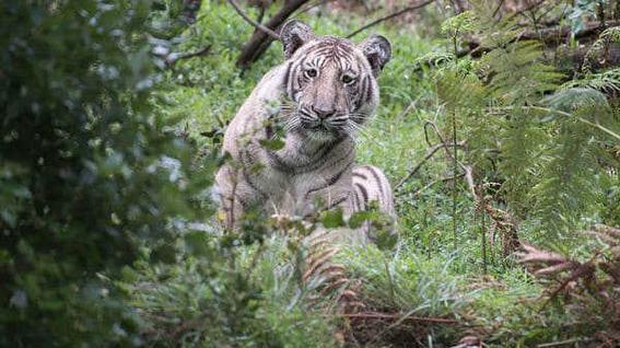 tigre palido