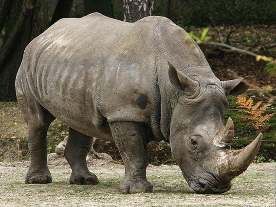 en diez anos no quedaran cuernos de rinoceronte 2