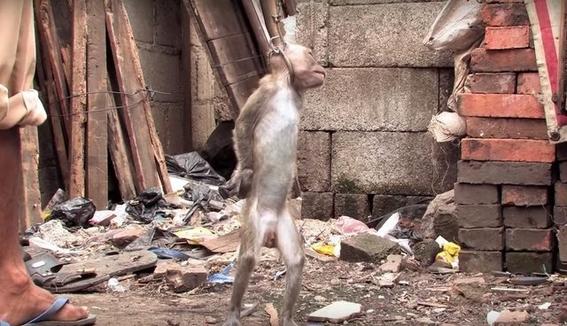 macacos torturados en indonesia 2