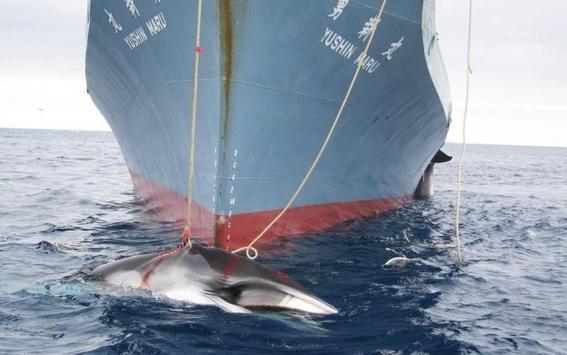 japon ha cazado 177 ballenas 2