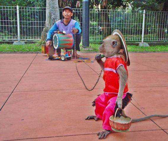 macacos torturados en indonesia 1