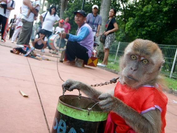 macacos torturados en indonesia 3
